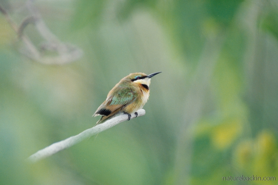 Immature little bee-eater, Linyanti, Botswana