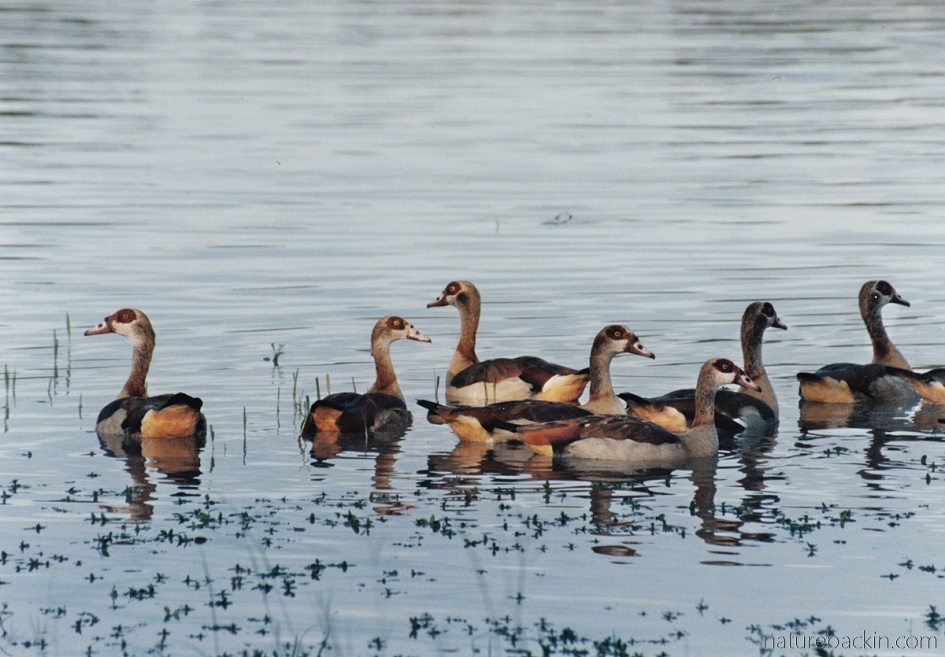 Eqyptian geese, Moremi Game Reserve