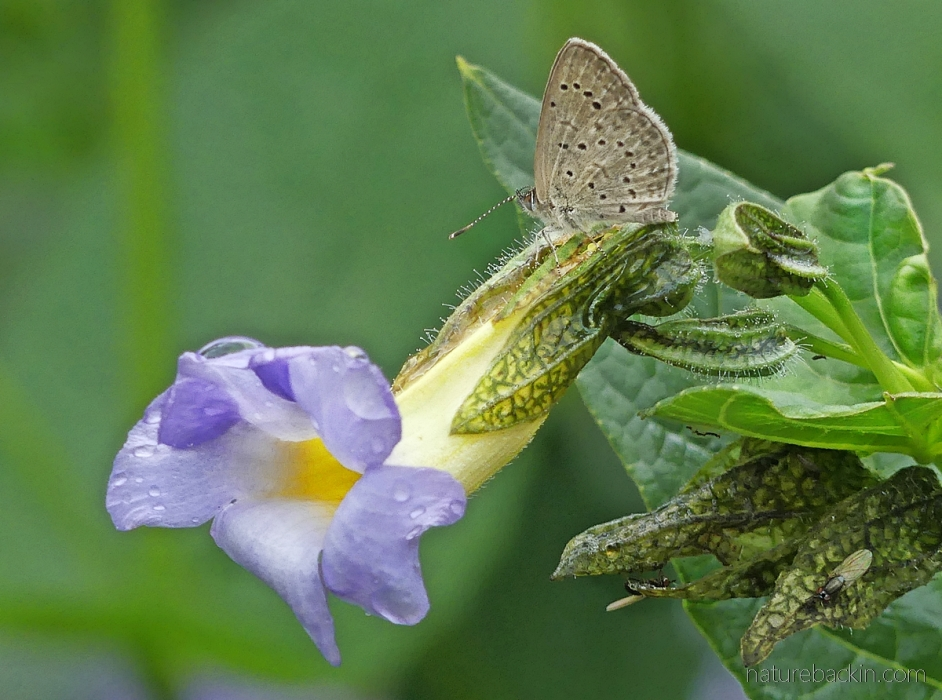 One of the blue butterflies on a blue flower (Thunbergia natalensis)