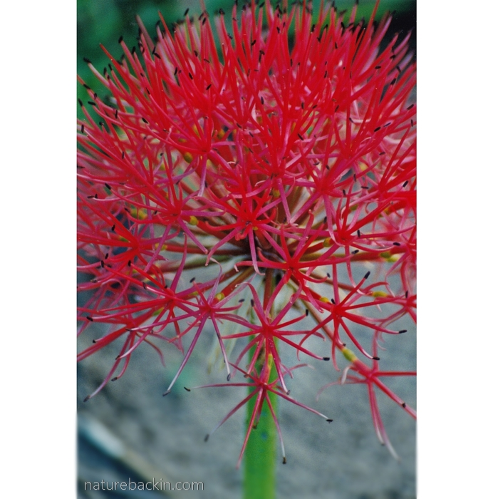 Fire-ball lily (Scadoxus multiflorus) at Linyanti, Botswana