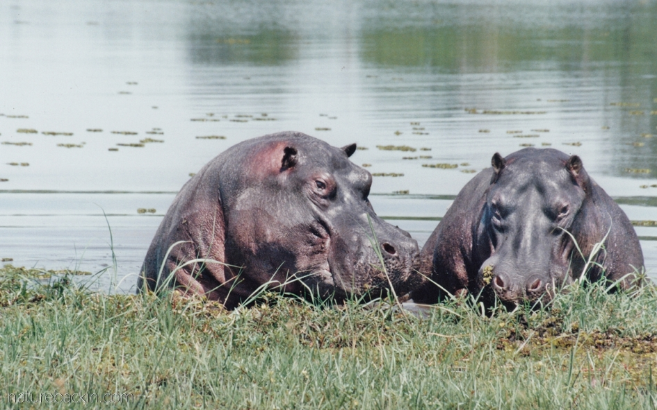 Hippos at the shoreline, Moremi Game Reserve