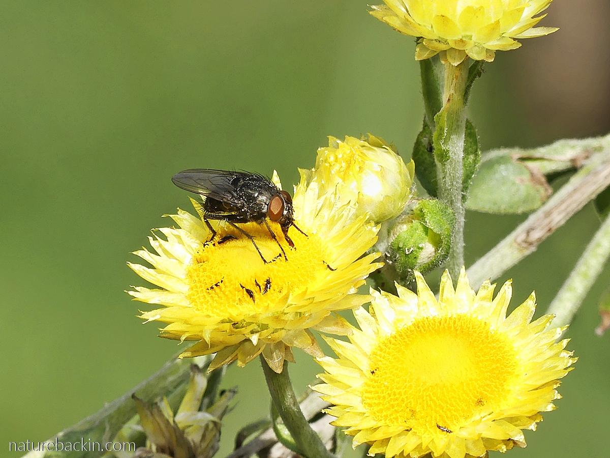 A fly feeding on