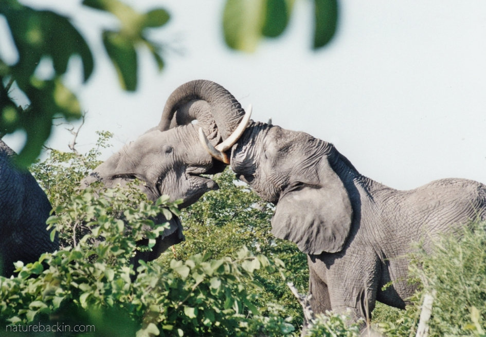 Two elephants jousting, Savuti, Botswana