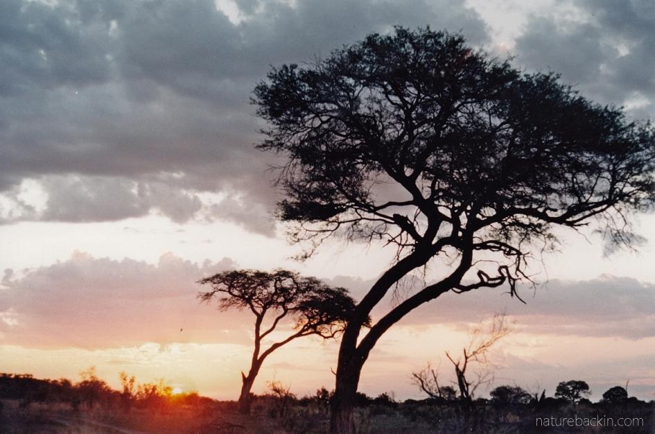 Camelthorn trees, Savuti