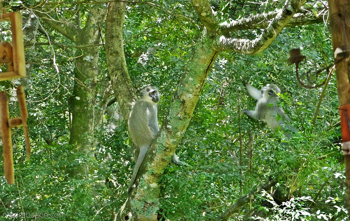 Vervet monkeys eating fruit from a horsewood (perdepis) tree in a suburban garden in KwaZulu-Natal