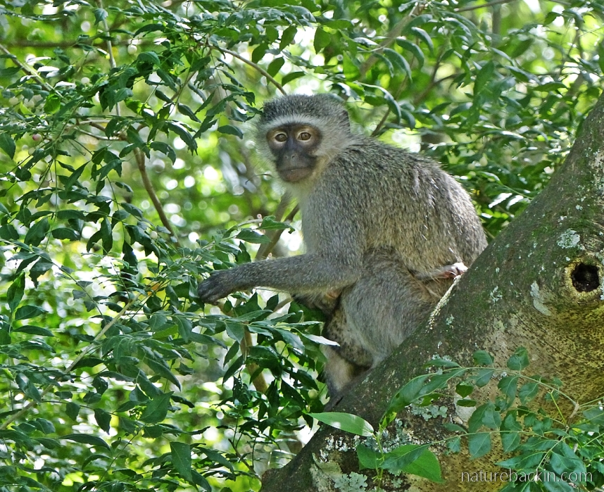 Female vervet monkey with baby eating fruits of a horsewood (perdepis) tree