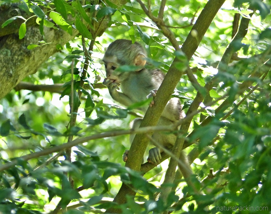 A baby vervet monkey eating green fruits of a horsewood (perdepis) tree