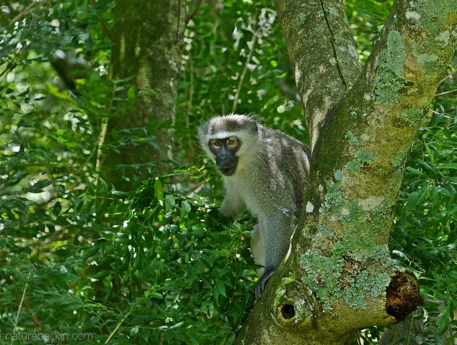 A vervet monkey foraging in a horsewood (perdepis) tree, KwaZulu-Natal
