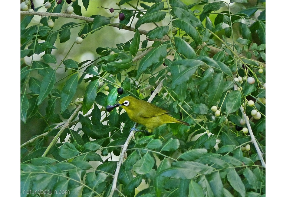 Cape white-eye eating fruit of a horsewood tree