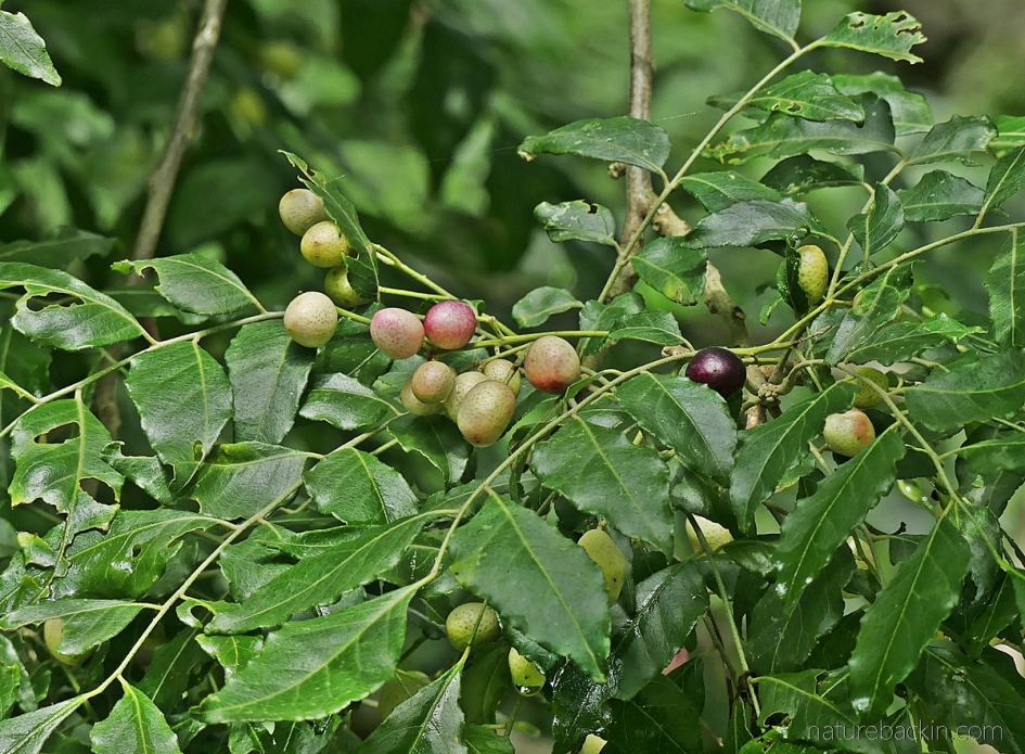 Fruits and leaves of a horsewood (perdepis) tree, South Africa