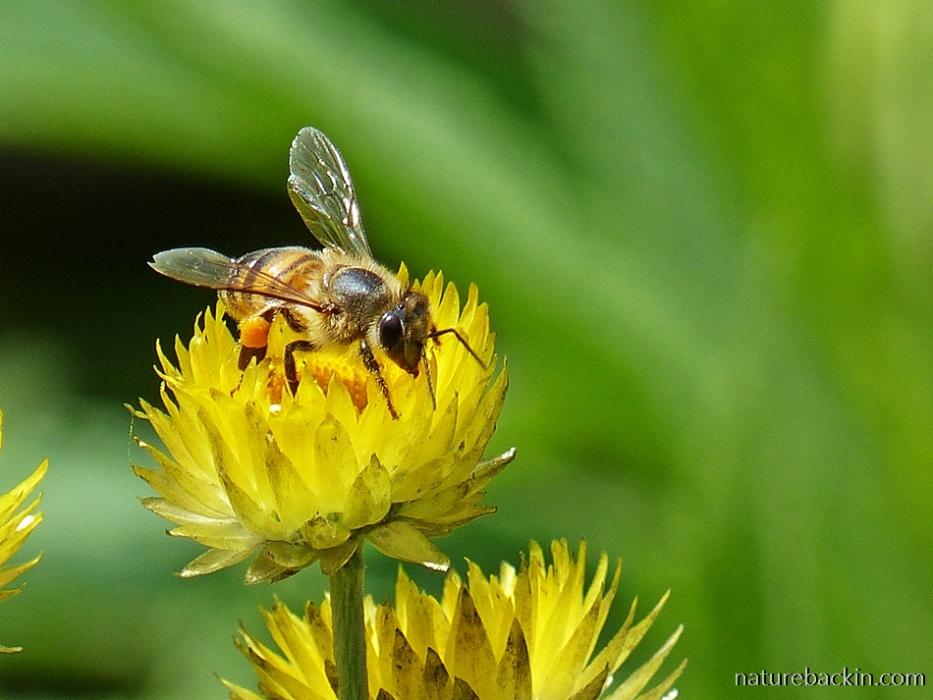 Honeybee visiting a yellow everlasting (Helichrysum cooperi)