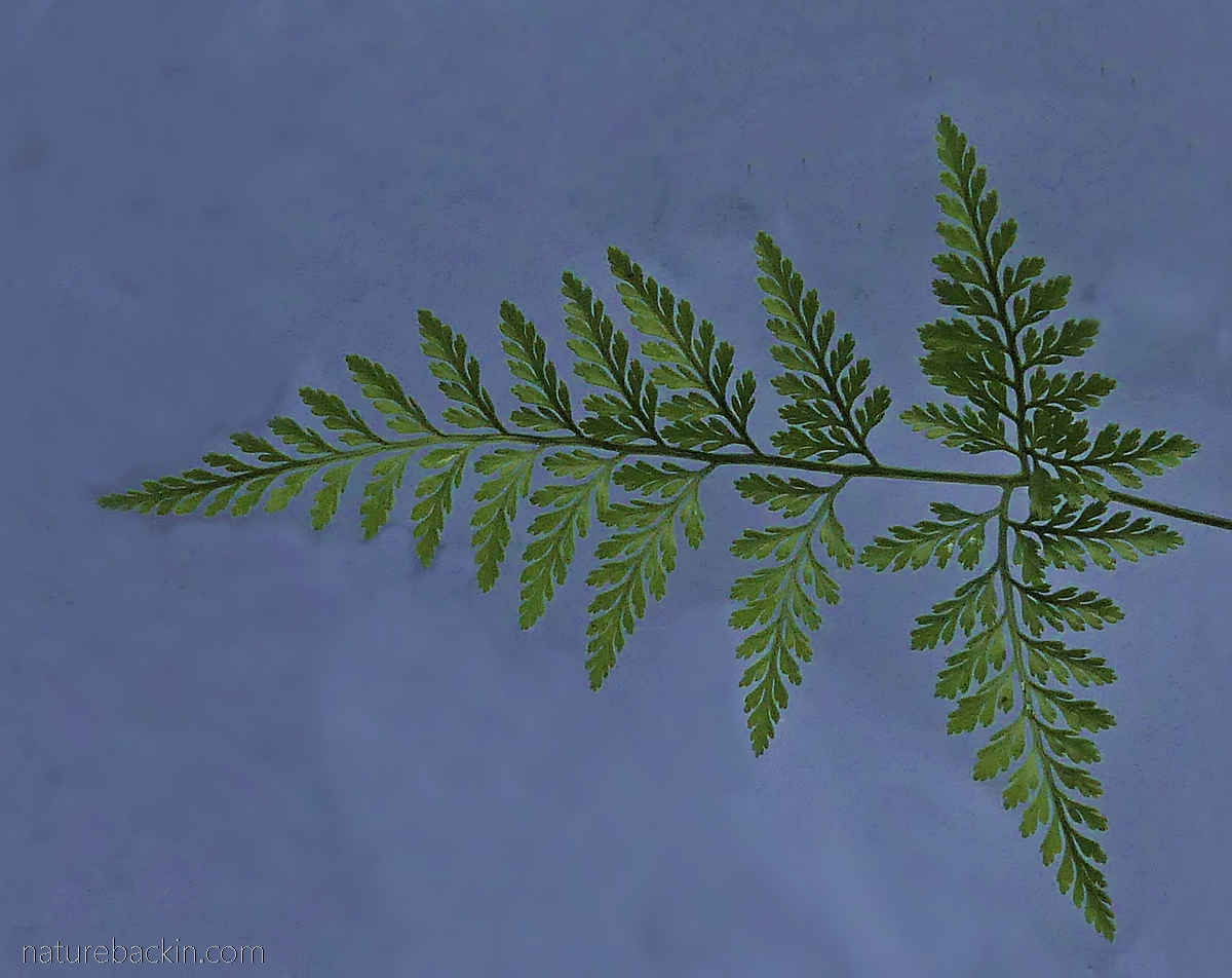 Fractal structure of a fern
