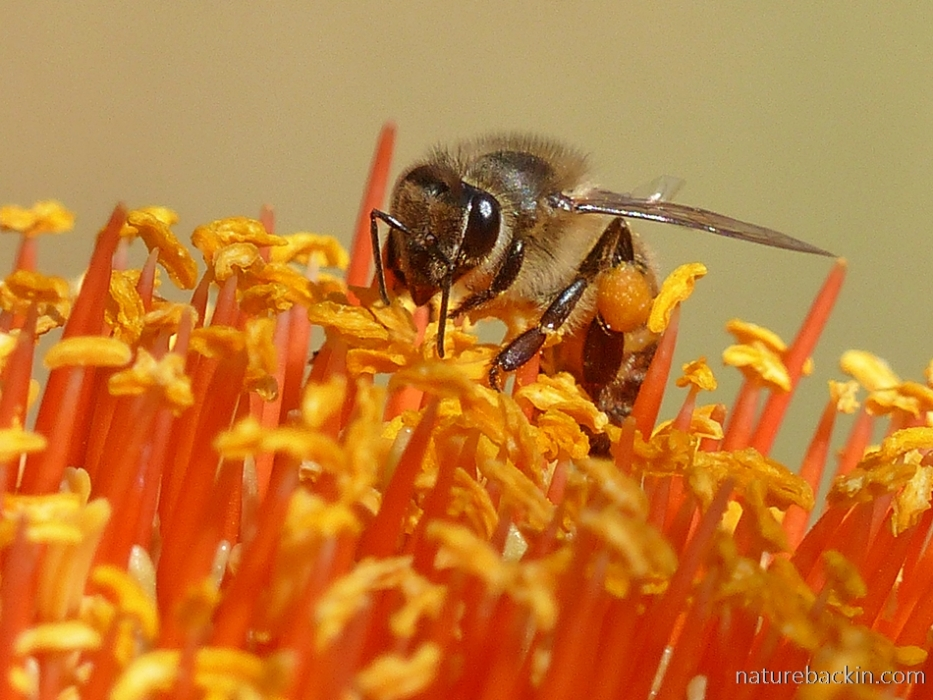 Honeybee foraging on the flower head of a paintbrush lily (Scadoxus puniceus)