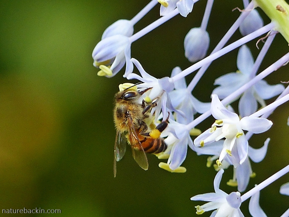 Honeybee vising a flower of the blue squill (Merwilla plumbea)