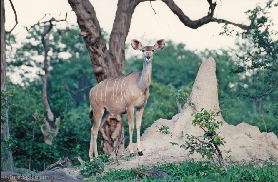 Kudu on termite mound, Linyanti, Botswana
