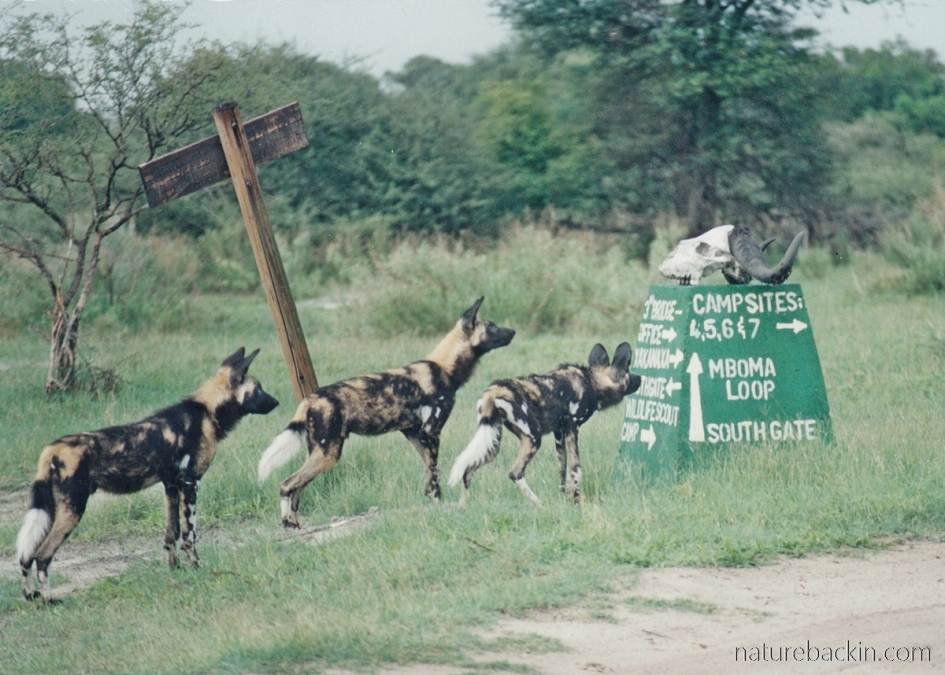 Wild dogs about to go on a hunt, Moremi Game Reserve