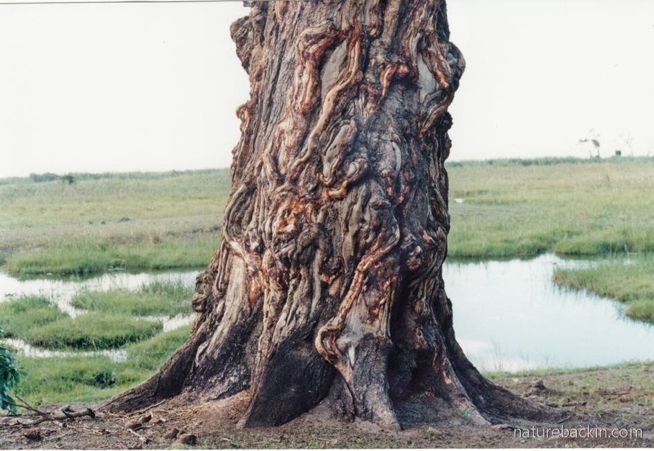 Large tree next to the margins of the Linyanti River, Botswana