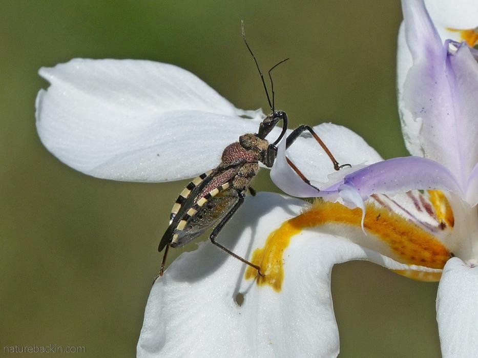 A flower assassin bug (Rhynocoris sementarius) waiting on a wild iris flower