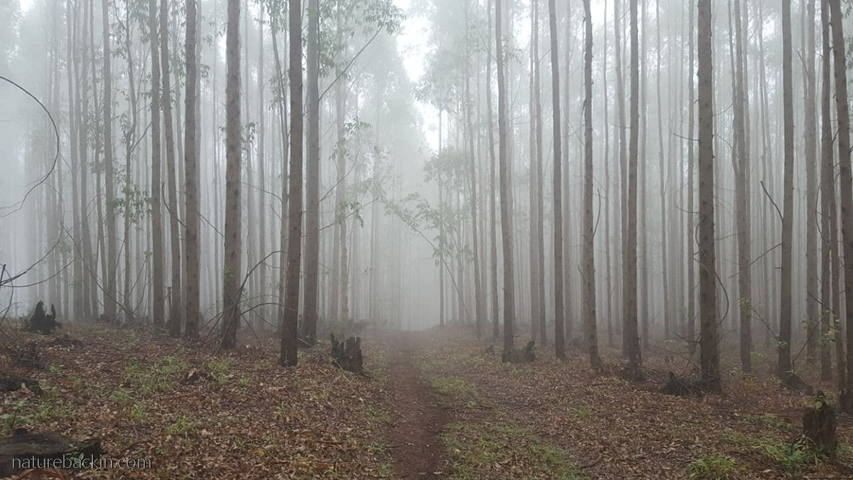 Eucalyptus plantation KwaZulu-Natal Midlands