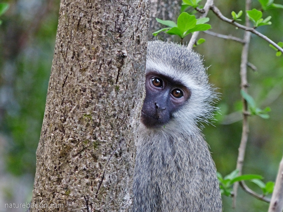 Vervet monkey on interface between a plantation and suburban area, KwaZulu-Natal