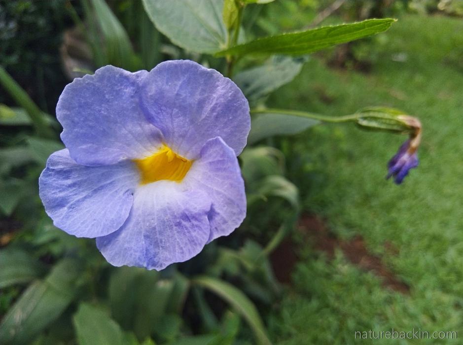 Flower of Natal blue bell (Thundbergia Natalensis), KwaZulu-Natal