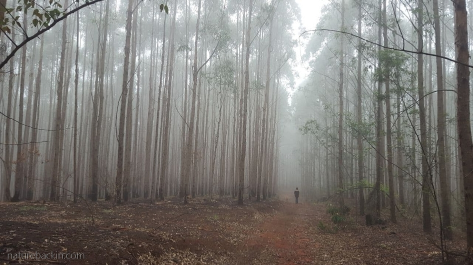 Walking in a eucalyptus plantation on the urban edge, KwaZulu-Natal