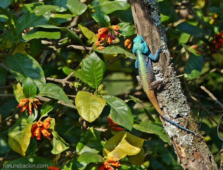 Breeding colours of male southern tree agama, South Africa