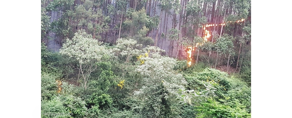 Fire in a eucalyptus plantation on the urban edge, KwaZulu-Natal