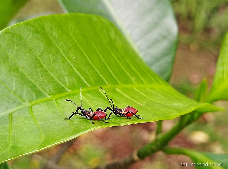Assassin bug nymphs on leaf