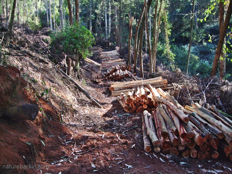 Cut timber stacked in eucalyptus plantation, South Africa