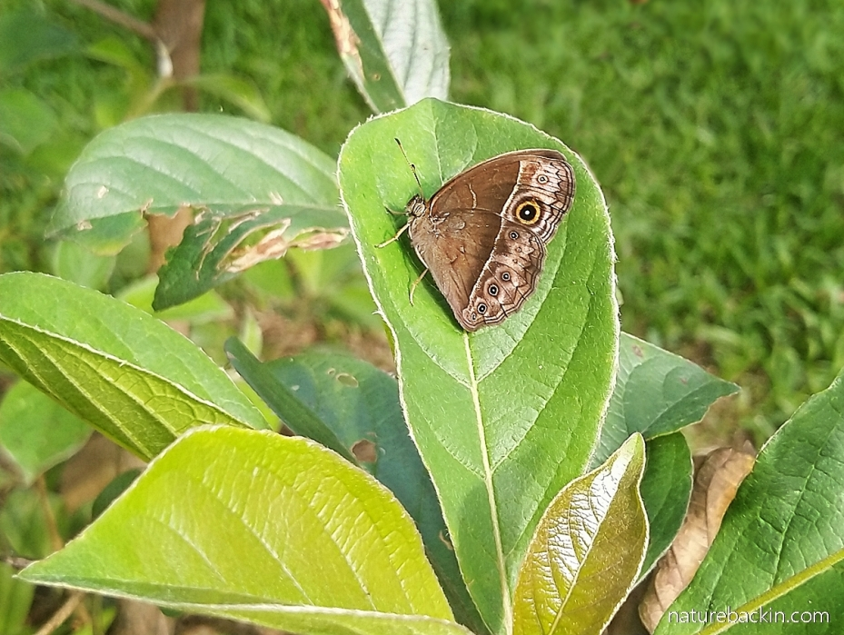 Bush brown butterfly, KwaZulu-Natal