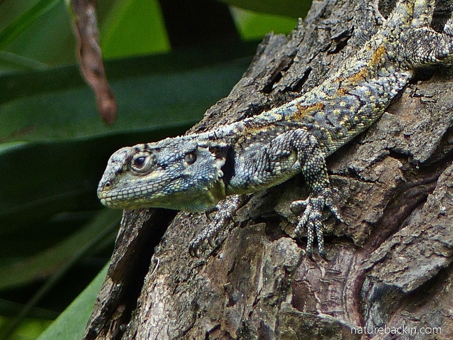 Camouflage colours of a southern tree agama (blue-headed lizard)