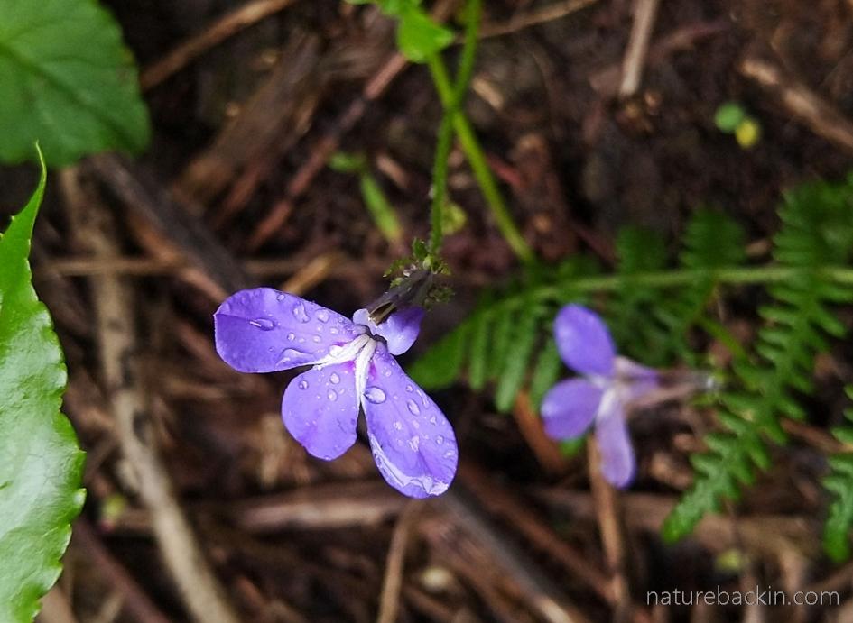 Wild lobelia flower, KwaZulu-Natal