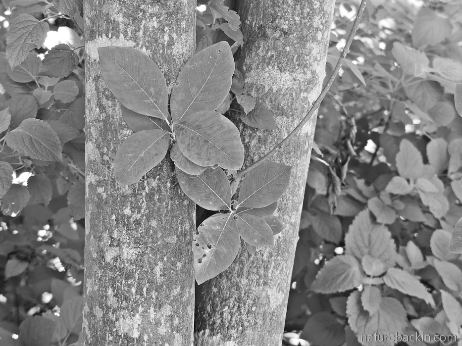 Trunk and leaves of a pompon tree (Dais cotinifolia)