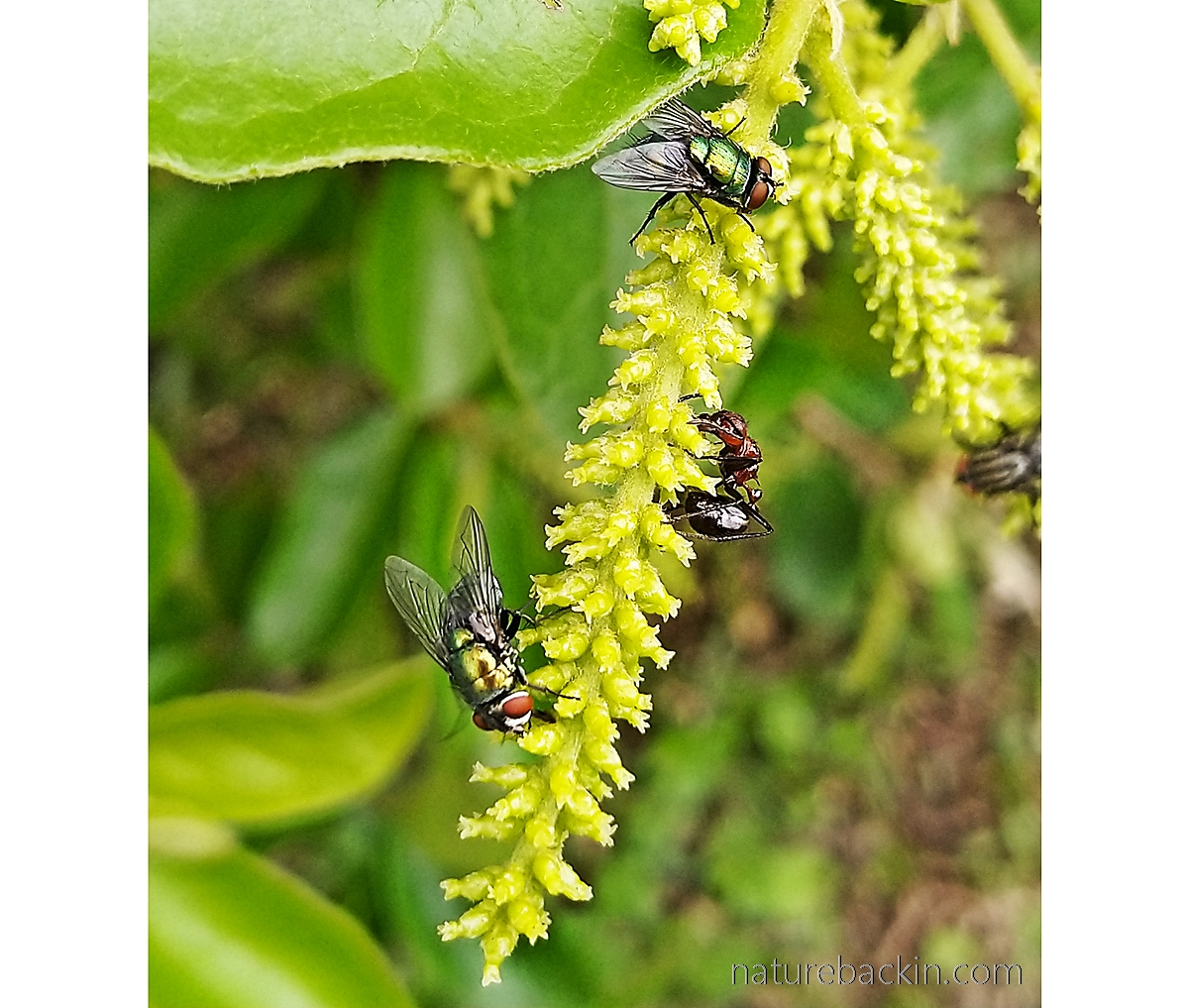 Blow flies and ant feeding on flowers of tassell-berry tree