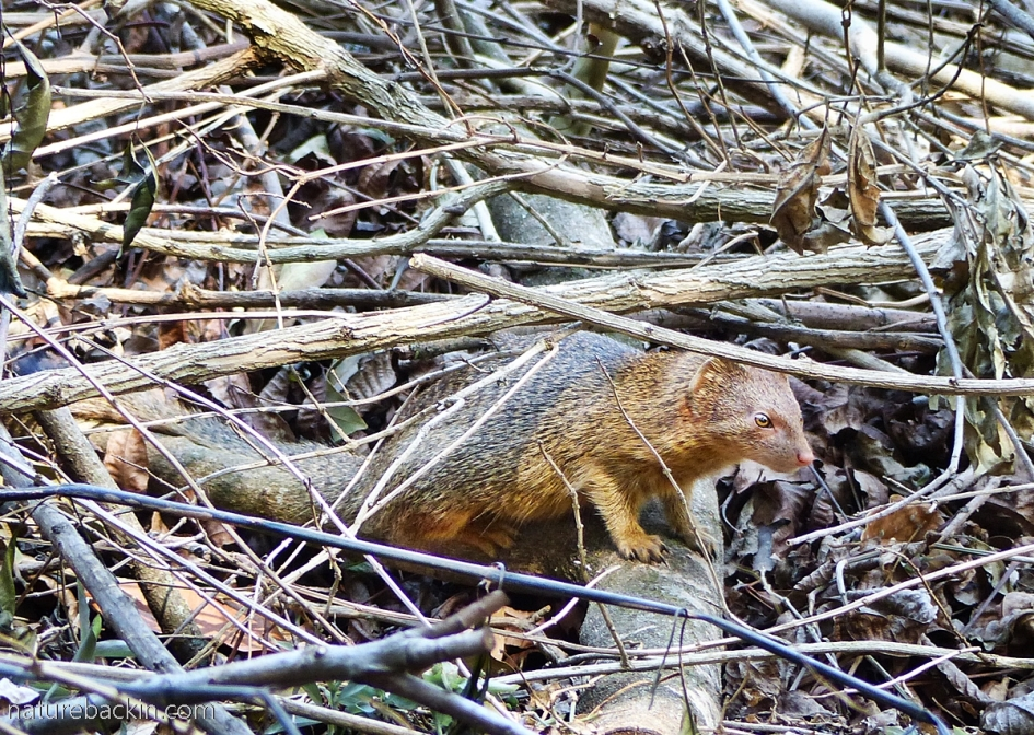 Slender mongoose on the margins of a plantation bordering on an urban area, KwaZulu-Natal