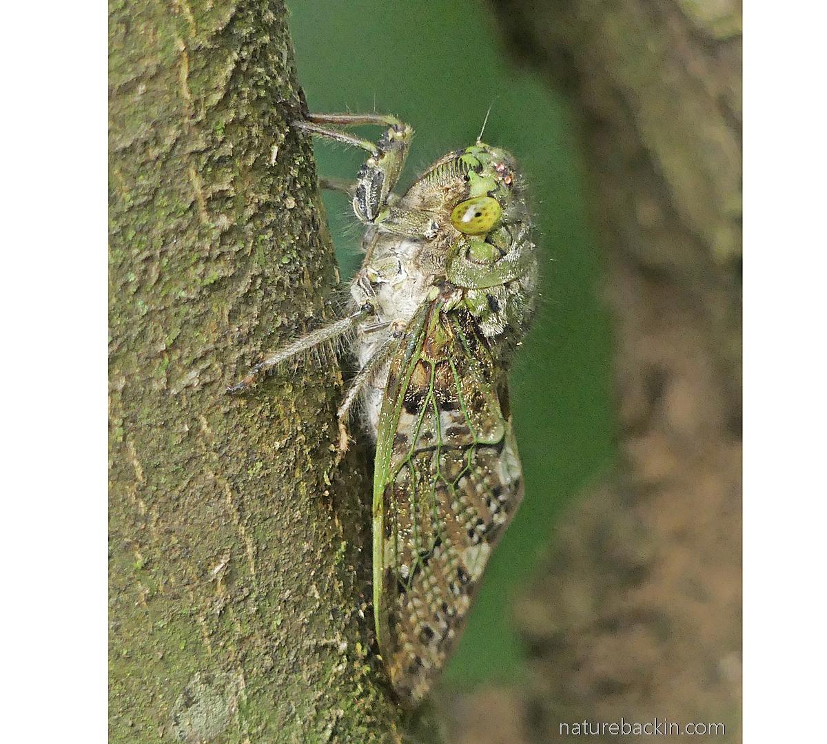 Profile of a cicada in suburban garden, KwaZulu-Natal