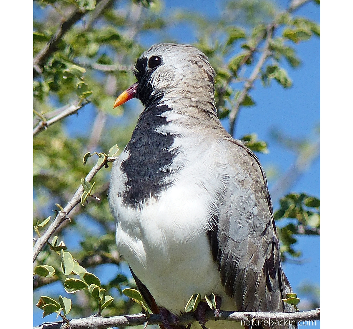 Male Namaqua dove portrait