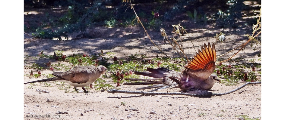 Namaqua dove sunbathing with wing outstretched showing rufous colouration