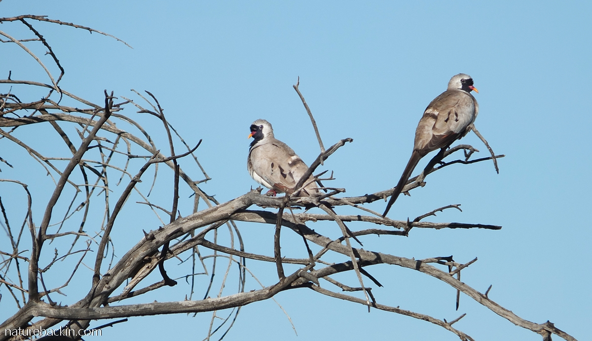 Two Namaqua doves perching in a tree, Botswana