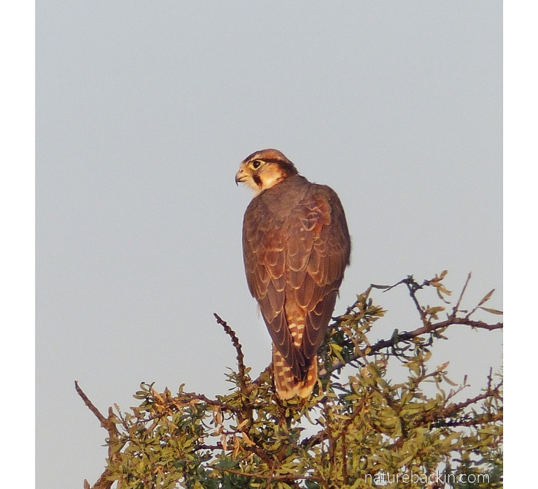 Lanner falcon perching in a small tree, Central Kalahari Game Reserve, Botswana