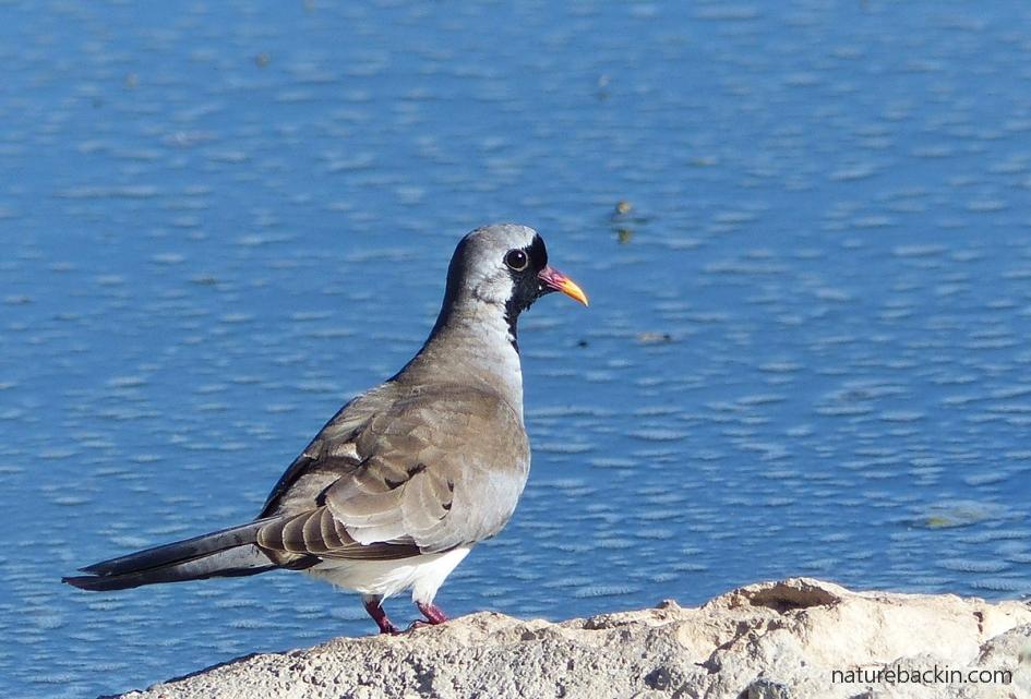 Male Namaqua dove, Botswana