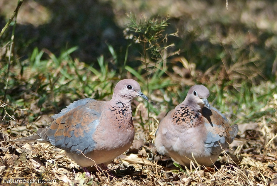 Pair of laughing doves in a garden in KwaZulu-Natal