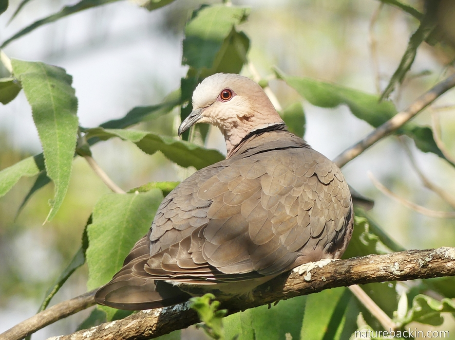 Red-eyed dove about to preen in a garden in KwaZulu-Natal