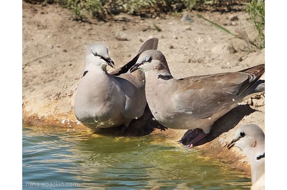 Pair of ring-necked doves at waterhole, Botswana
