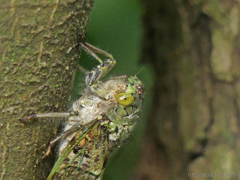 Portrait of a cicada, KwaZulu-Natal