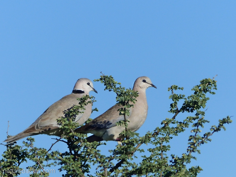 Pair of ring-necked doves at Mabuasehube, Botswana
