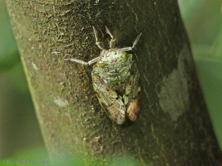 Cicada calling, KwaZulu-Natal
