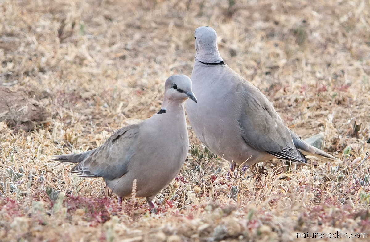 Pair of ring-necked doves at Addo Elephant National Park, South Africa