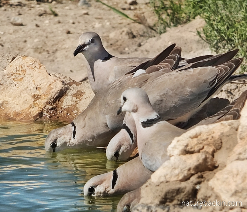 Ring-necked doves drinking at waterhole at Mabuasehube, Botswana